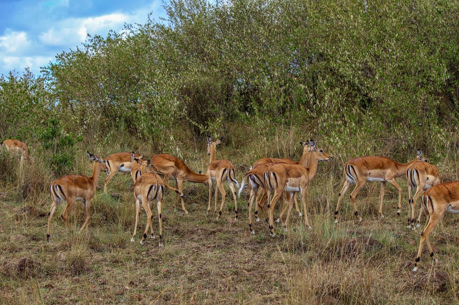 Impala photo - Aepyceros melampus - G27145 | Arkive