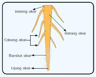 Fungsi akar dan bagian-bagian akar tumbuhan