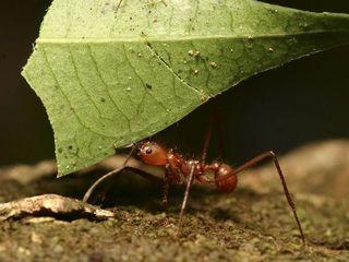 binatang terkuat di dunia - semut