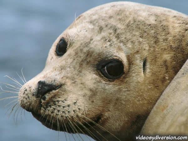Mis mamíferos marinos: Entonces..., ¿en qué se diferencia una foca ...