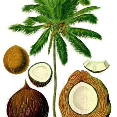 Coconut Tree The Tree of Life