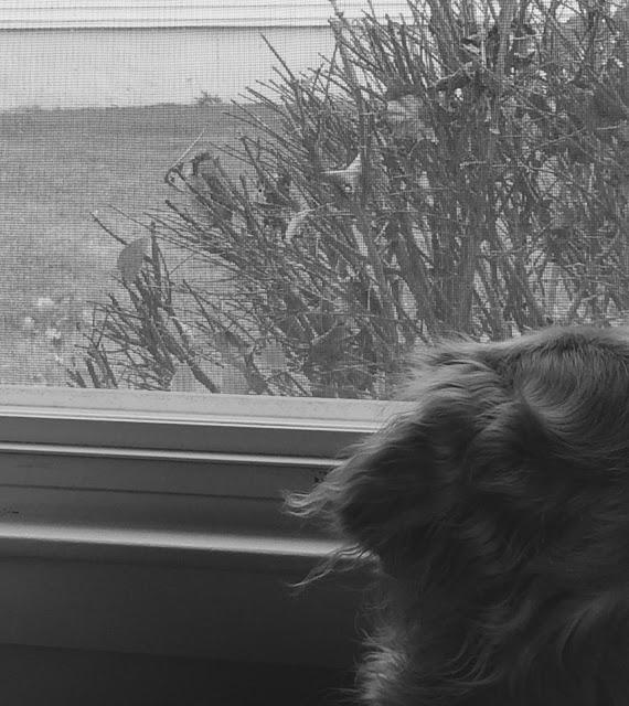 Golden Retriever dog watching bird outside window #blackandwhiteSunday