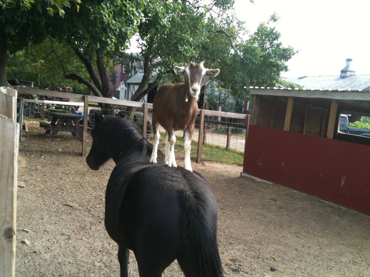funny animals, animal pictures, horse with goat on his back