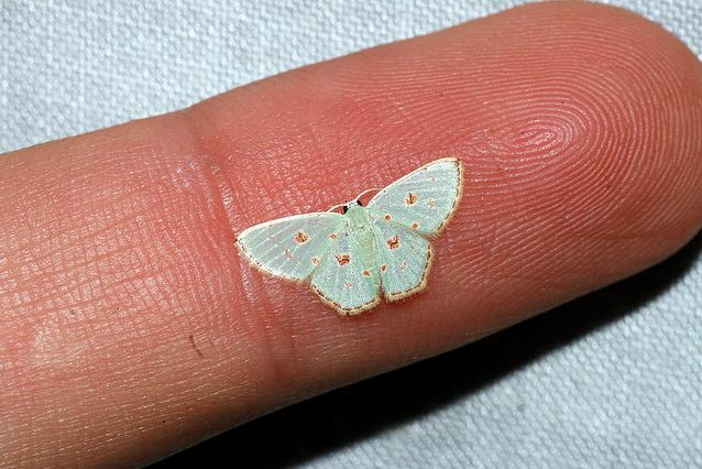 The Mini Moth That S Smaller Than Words On A Page