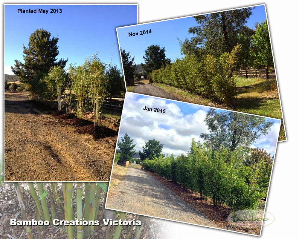Gracilis bamboo used as a green screen for driveway supplied by Bamboo Creations Victoria