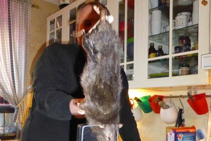 Keluarga di Swedia Kaget Tangkap Tikus Raksasa