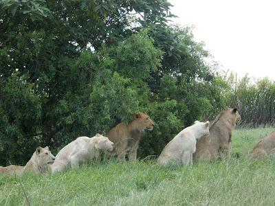 Dorosłe lwy w Lion Parku