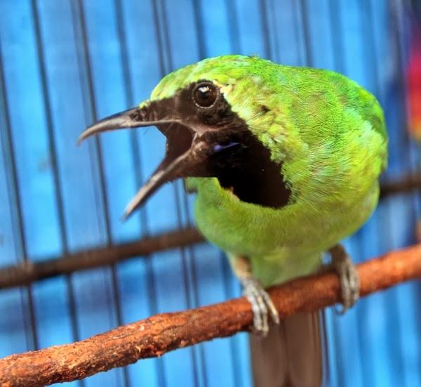 tips merawat cucak ijo cepat gacor ocehan burung