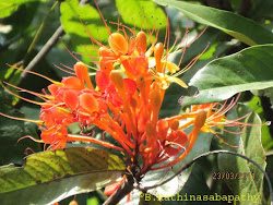 Ashoka Tree (Saraca asoca) Flower