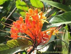 Ashoka Tree (Saraca asoca) Flower