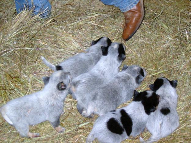 All List Of Different Dogs Breeds Blue Heeler Puppy Pictures