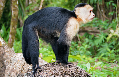 Mono cara blanca en el Parque Nacional Cahuita de Costa Rica