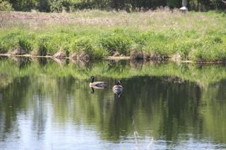 photo of Canada geese on a pond