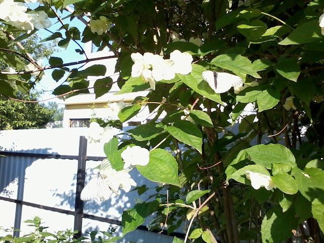 Бабочка Боярышница - садовый вредитель, фото