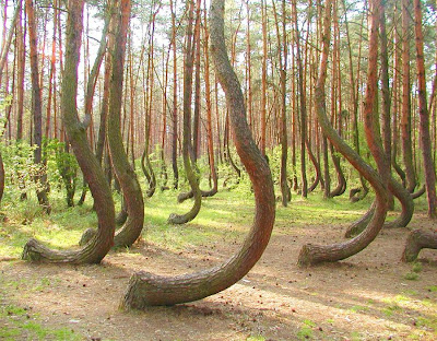 Krzywy Las or Crooked Forest Poland