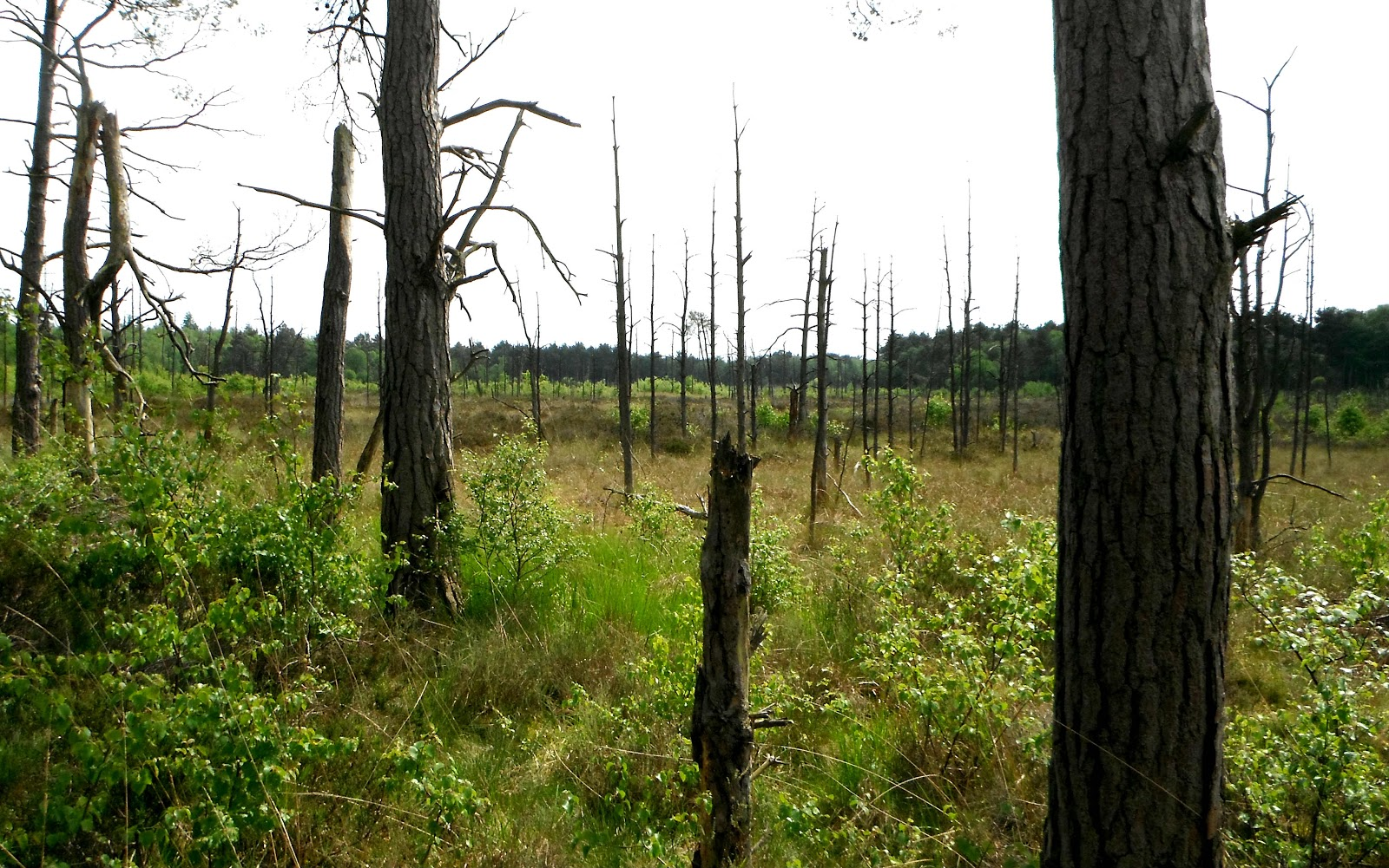 Dead pines at Chartley Moss