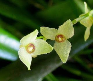 Stelis sp  do blogdabeteorquideas