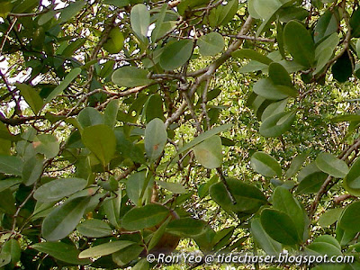 Nyireh Bunga (Xylocarpus granatum)