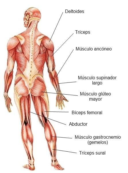 Esgrima Hongaresa Badalona: La esgrima y el sistema muscular