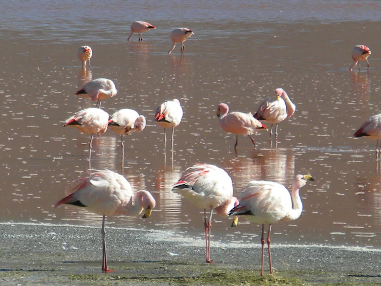 FLAMENCOS - LAGUNA COLORADA