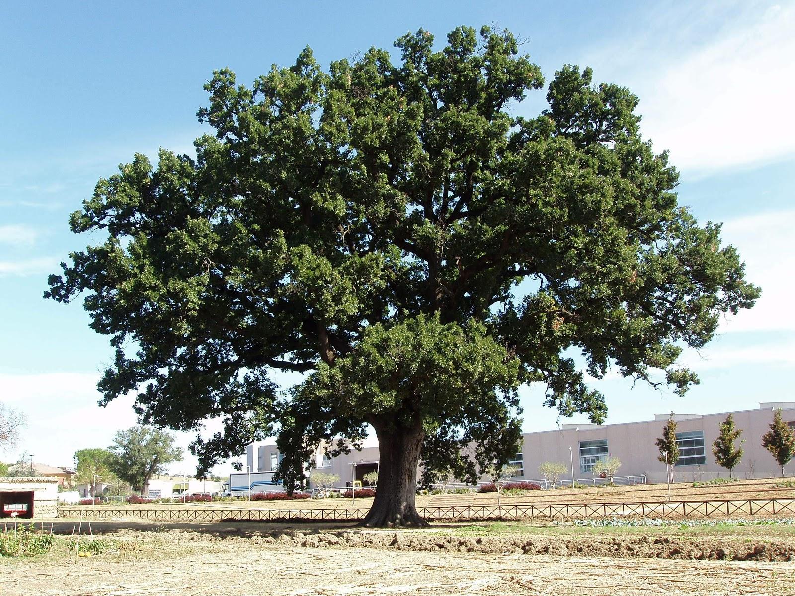 Quelli che parlano agli alberi la regina delle querce for Chioma albero