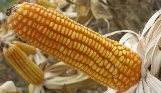 Cara meningkatkan hasil budidaya jagung dengan pupuk organik nasa