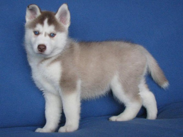 Siberian Husky With Blue And Brown Eyes Grey and white siberian husky