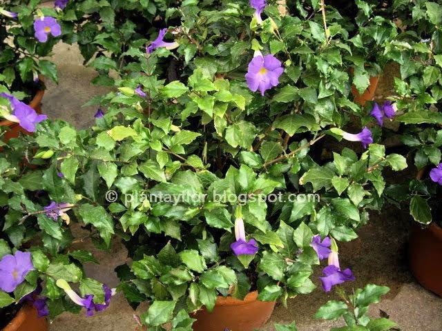 Rocalla y tapizantes cat logo de intersemillas plantas - Plantas perennes exterior ...