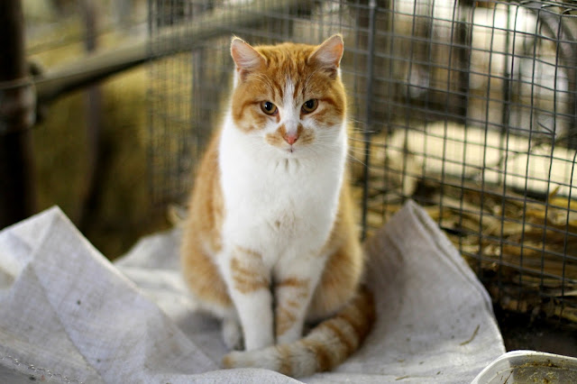sweet Sam, one of several barn cats
