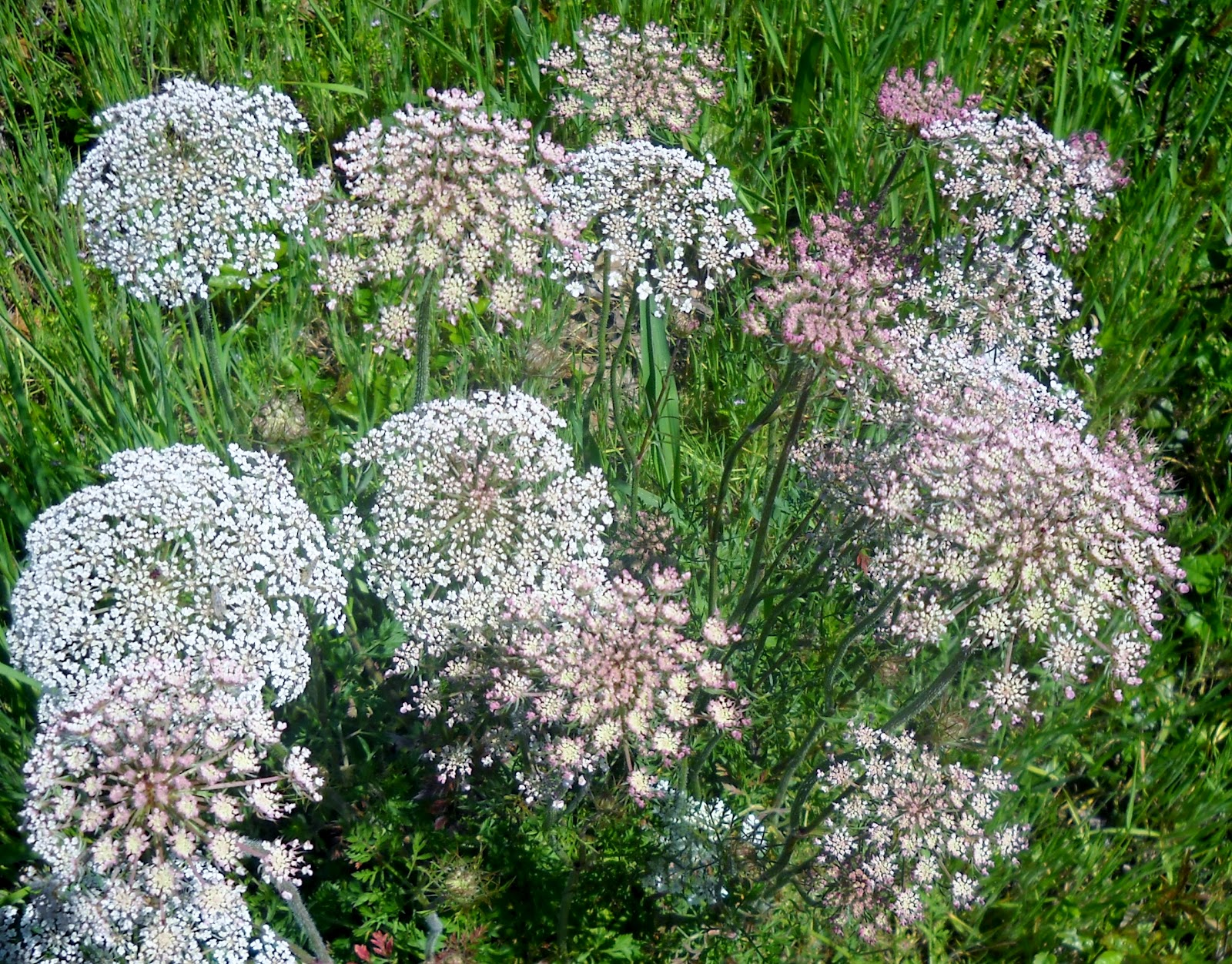 White Rock Lake Dallas Texas Queen Anne s Lace An Intriguing Wildflow