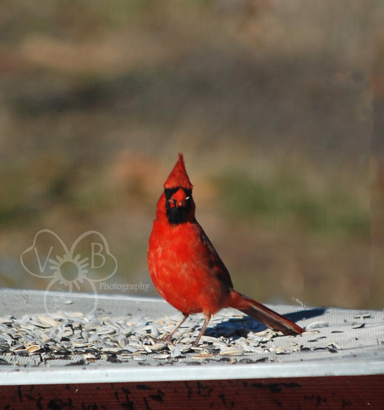 violet u0027s buds birdwatching u0026 the great backyard bird count