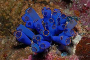 Sea squirt (Tunicate)