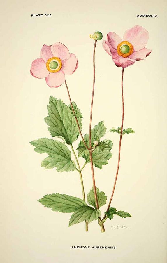 Anemone hupehensis, Image courtesy Missouri Botanical Garden