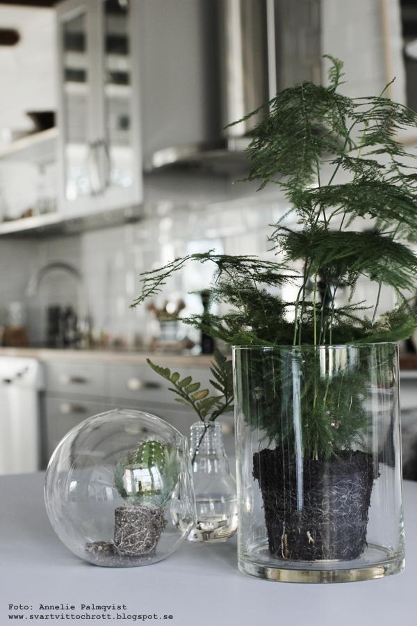 växt, växter, grönt, fjädersparris, favoriter, favorit, kaktus, kaktusar, kök, köket, kökets, inredning, inredningsblogg, blogg, bloggar, annelie palmqvist