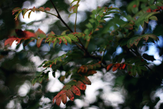 rowan tree with red leaves
