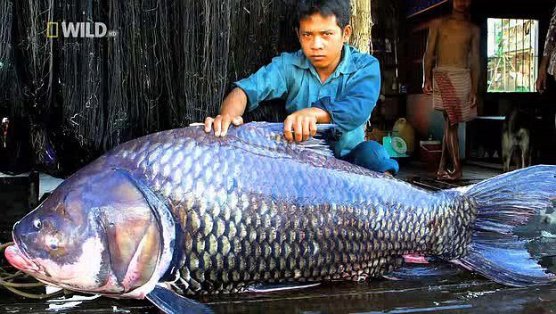 [Khám Phá] - Huyền thoại cá thầy chùa trên dòng Cửu Long 3