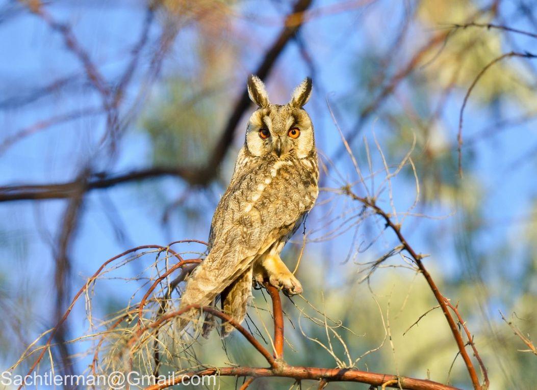 17. Photograph Long-eared Owl (Asio otus) by Gary Hu