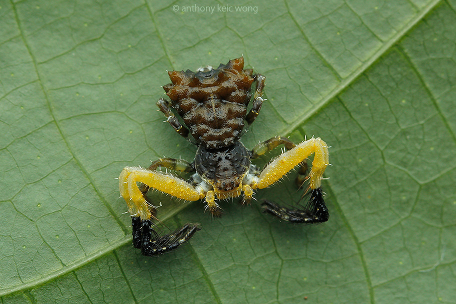 Phrynarachne cf. ceylonica