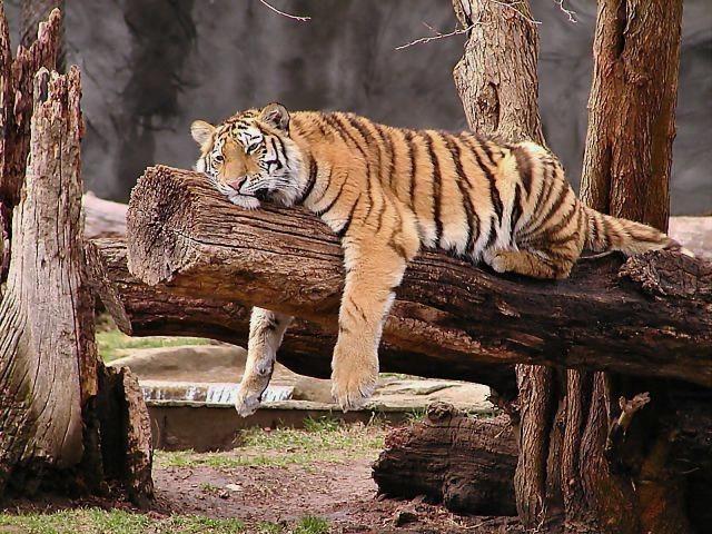 Søvnig doven tiger blunder på gren fra træ