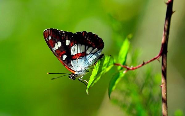Desktop HD Wallpapers Butterfly Download