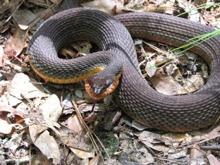 Water Moccasin Belly