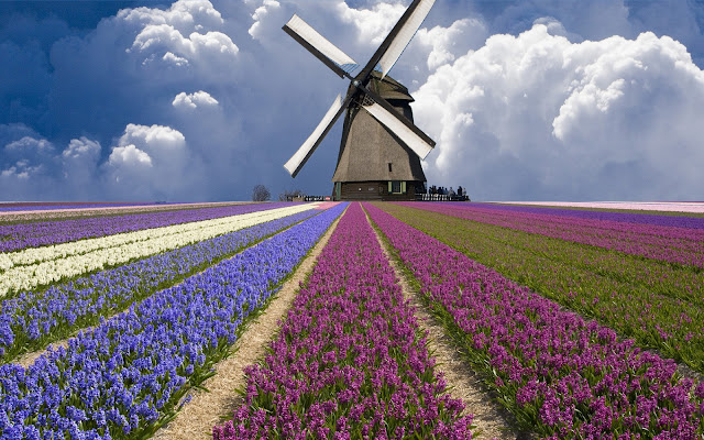 Huge Windmill Holland Tulip Fields HD Wallpaper