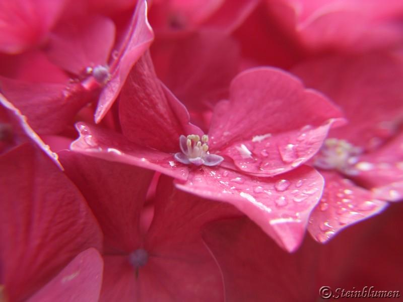 Hortensie fertile Blüte