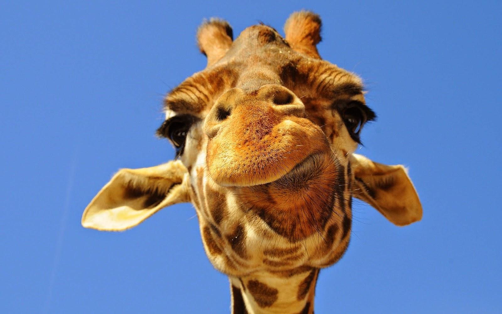 Top Wallpaper Colorful Giraffe - giraffe  Best Photo Reference_74784 .jpg