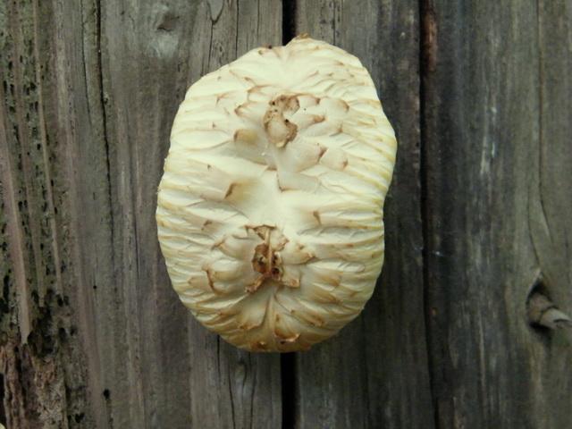 Neolentinus lepideus