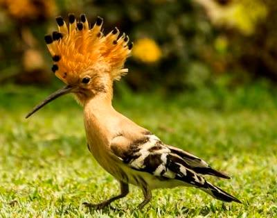 African-Hoopoe