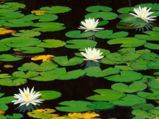 water lily (shapla) national flower of bangladesh