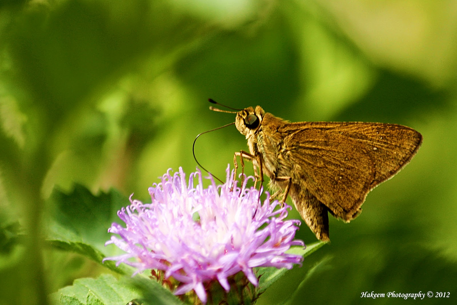 Skipper butterflies 1