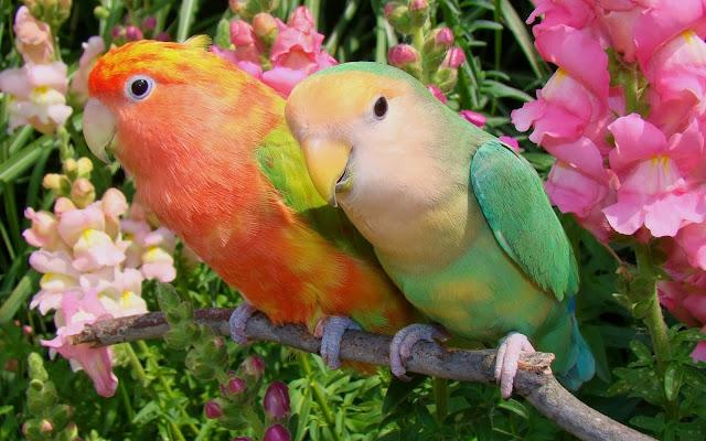 Periquitos de Colores en Pareja Fotos de Aves Exoticas