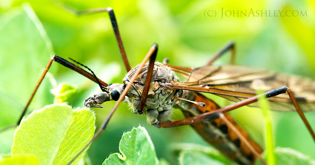 Close-up showing a crane fly haltere (c) John Ashley